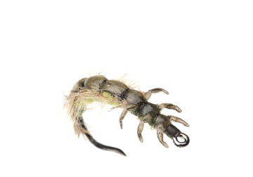 Picture of Caddis Larva (Size 2)