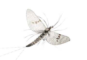 Picture of Mayfly Spent (Size 2)