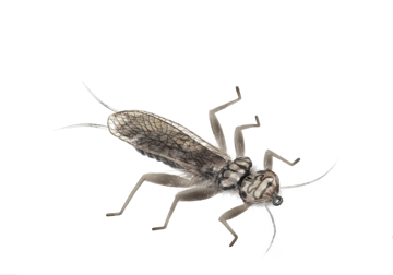 Picture of Stonefly Adult (Size 2)