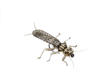 Picture of Stonefly Adult (Size 3)