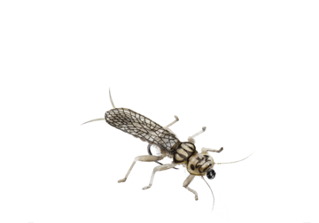 Picture of Stonefly Adult (Size 4)