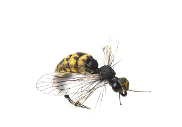 Picture of Wasp (Size 3)